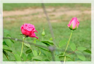 roses revised